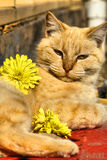 Pampered Cat. A happy cat sitting in the sunshine draped in flowers Stock Image