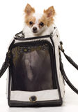 Pampered Chihuahua. Cute Chihuahuas head poking out of travel bag Royalty Free Stock Photography