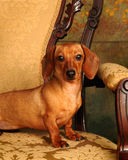Pampered Dachshund Stock Photography