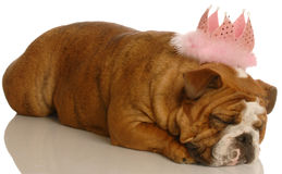 Pampered dog Royalty Free Stock Photography