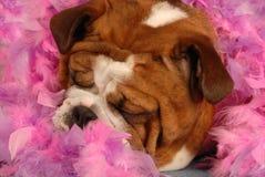 Pampered dog. English bulldog sleeping surrounded pink feathers Royalty Free Stock Photography