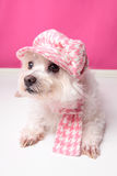 Pampered maltese terrier. A pampered pooch wearing pink houndstooth cap and matching scarf Royalty Free Stock Images