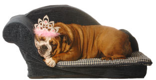 Pampered pets. English bulldog lying in dog bed with tiara isolated on white Royalty Free Stock Photos