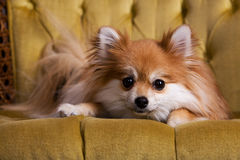 Pampered Pomeranian. Close-up of a Pomeranian puppy resting on a golld, velvet chair Stock Images
