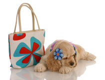 Pampered pooch. American cocker spaniel puppy laying down beside fashionable purse Stock Images