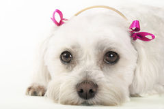 Pampered Pooch Royalty Free Stock Photography
