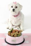 Pampered Pooch. White maltese terrier with pink collar and ribbon sits in front of a pink dog bowl filled with doggie bone-shaped biscuits Stock Photography