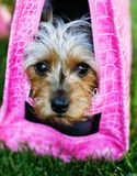 Pampered Pooch in Pink. A spoiled yorkie being toted in a hot pink dog purse stock image