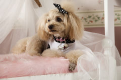 Pampered poodle Stock Image