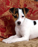 Pampered Puppy with Red Pillows. Closeup of cute jack russell terrier puppy sitting with red pillows Stock Photo
