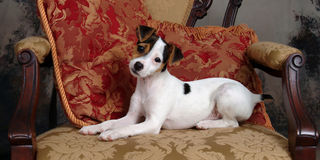 Pampered Puppy Relaxing on Chair. Cute jack russell terrier puppy relaxing on chair with red pillows Stock Photography