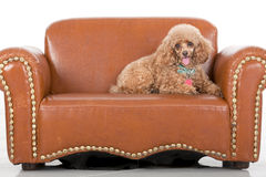 Pampered Toy Poodle Stock Photography