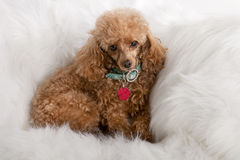 Pampered Toy Poodle Stock Images