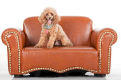 Pampered Toy Poodle Royalty Free Stock Photos