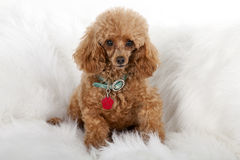 Pampered Toy Poodle Stock Photos