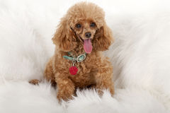 Pampered Toy Poodle Royalty Free Stock Photo