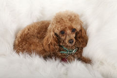 Pampered Toy Poodle Royalty Free Stock Image