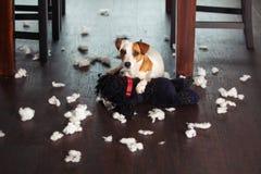 Pampering bielu psa zdjęcie royalty free