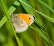 Pamphilus di Coenonympha della farfalla Immagini Stock