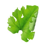 Pampkin leaf Royalty Free Stock Images