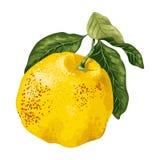 Pamplemousse d'agrumes ou pamelo juteux dans le vecteur illustration stock