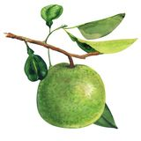 Pamplemousse vert mûr accrochant sur la branche, l'arbre de pamplemousse tropical, les agrumes et la feuille d'isolement, aquarel photos libres de droits