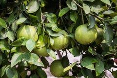 Pamplemousse vert non mûr avec l'arbre photos stock
