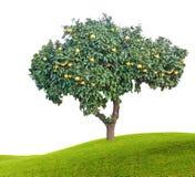Pamplemousses mûrs sur l'arbre Image libre de droits