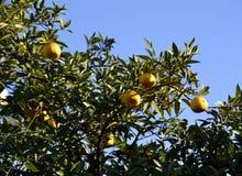 Pamplemousses mûrs jaunes sur une branche d'arbre Image libre de droits