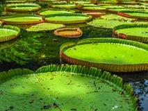 Pamplemousses Mauritius Arkivbilder