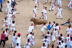 PAMPLONA SPANIEN - JULI 8: Folk som har gyckel med unga tjurar på Arkivfoton