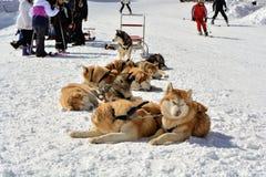 PAMPOROVO, BULGARIJE - MAART 11, 2015: De wintertoevlucht met skilift en skisporen en de Snejanka-toren hond het sledding op de s Royalty-vrije Stock Fotografie