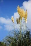 pampus dell'erba di autunno Fotografia Stock Libera da Diritti