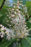PanÃcula blom- de castaño de Indias, Aesculushippocastanum Arkivfoto