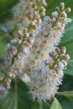 PanÃcula Blumen-de Castaño de Indias, Aesculus hippocastanum Stockbild