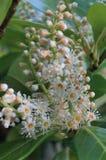 PanÃcula Blumen-de Castaño de Indias, Aesculus hippocastanum Stockfoto