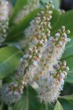 PanÃcula Blumen-de Castaño de Indias, Aesculus hippocastanum Lizenzfreie Stockfotos