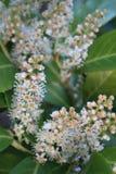 PanÃcula Blumen-de Castaño de Indias, Aesculus hippocastanum Stockfotografie