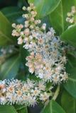 PanÃcula Blumen-de Castaño de Indias, Aesculus hippocastanum Lizenzfreie Stockbilder