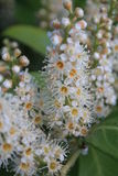 PanÃcula Blumen-de Castaño de Indias, Aesculus hippocastanum Stockfotos