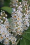 Panícula floral de castaño de Indias, Aesculus hippocastanum Stock Photos