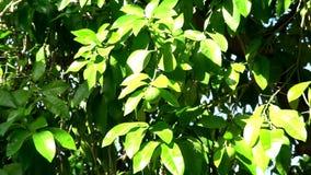Pan across beautiful lime tree. stock footage