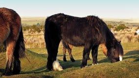 Pan Across Group Of Horses dans la région sauvage banque de vidéos