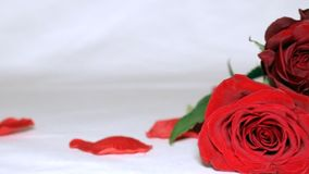 Valentine`s day roses pan white background. Pan across Valentine`s day rose bouquet and petals in white background stock footage