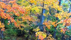 Pan Across Yellow och orange sidor som blåser i bris under nedgångfärger i Vermont arkivfilmer