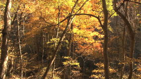 Pan of autumn forest. Video of pan of autumn forest stock footage