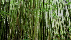 Pan of Bamboo Forest stock video footage
