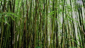 Pan of Bamboo Forest stock footage