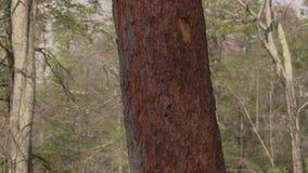 Pan of beetle infested pine tree. Pan down beetle infested pine tree stock footage