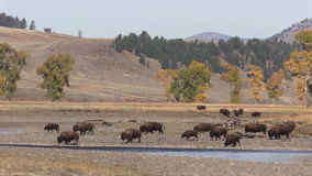 Pan of Bison Herd Along the Lamar River stock video footage